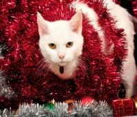 white_cat_in_tinsel~AP-KKWK9D-TH.jpg